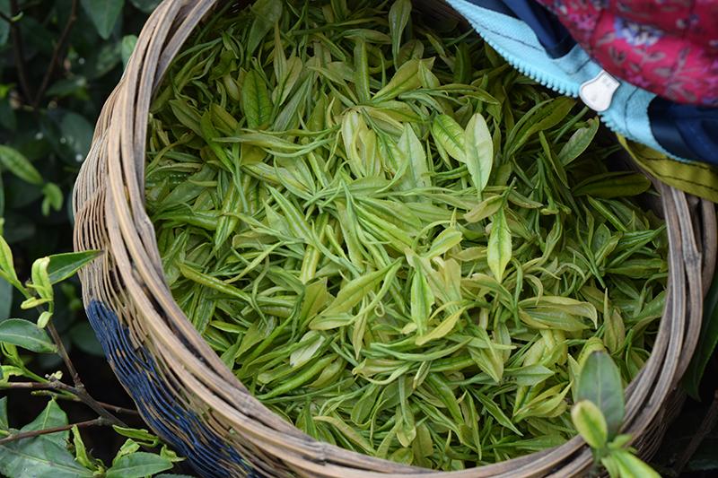新鲜茶叶采摘